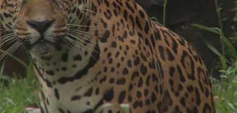El impacto del hombre en la vida del yaguareté - Snack Video