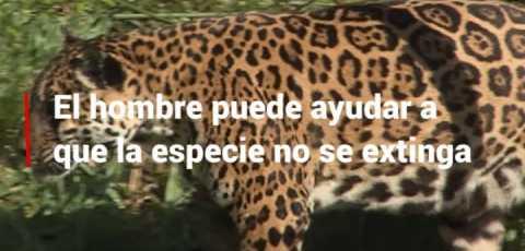 Snack Video 8: El impacto positivo en la vida del yaguareté gracias a los cambios del hombre