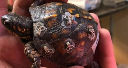 Bra clasps help to mend injured turtles