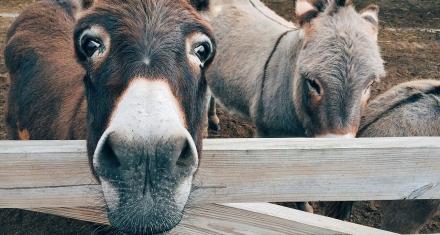 La relación entre la medicina tradicional china y el dramático declive de la población mundial de burros