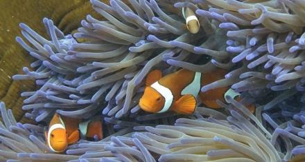 El pez payaso no podría salvarse del cambio climático