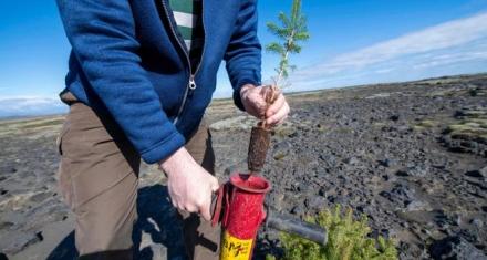 Islandia: Recuperan árboles arrasados por los vikingos hace mil años