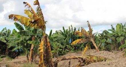 Colombia: Un hongo puede acabar con el banano