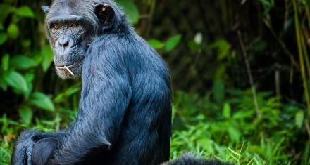 La caza furtiva y la deforestación están amenazando a los chimpancés