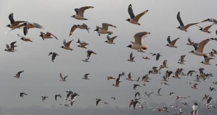 Perú: Por el confinamiento, las playas estan llenas de pájaros