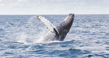 La ballena jorobada tiene el sistema acústico más complejo del planeta