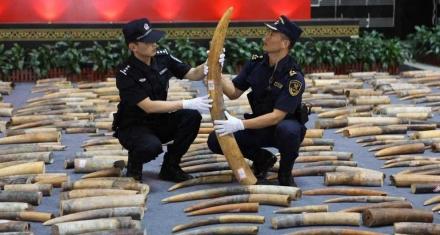 Tráfico de animales: China descubre casi 3 mil colmillos de elefante