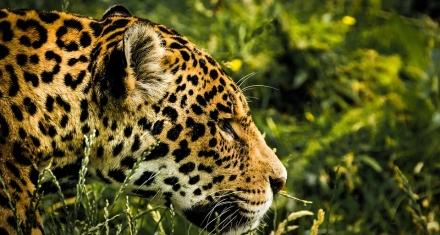 Cuáles son las claves para conservar al jaguar en la Amazonia