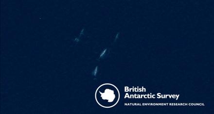 Cuentan ballenas desde el espacio para evitar su extinción