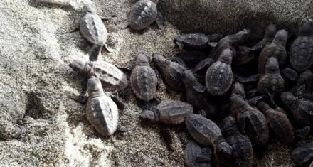 Colombia: Nacen 105 tortugas bobas en el Parque Tayrona