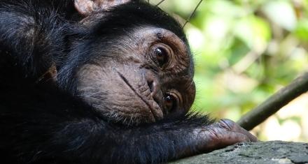 Chimpancés muestran un comportamiento y una cultura más diversos en los entornos más variables