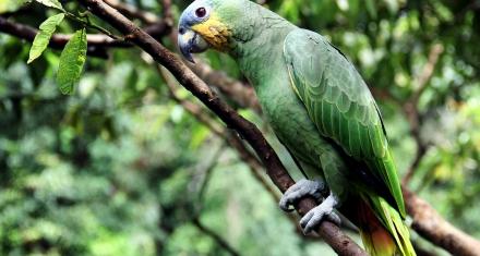 Nicaragua: Liberaron a medio centenar de loras en un bosque tropical