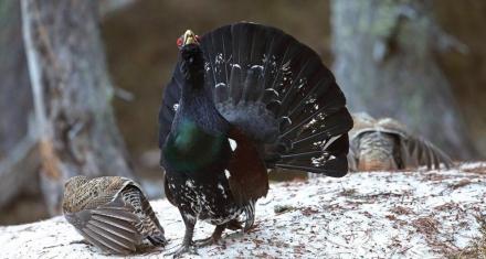 Los Urogallos, un ave amenazada en peligro de extinción