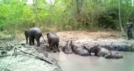 Tailandia: Rescatan a 6 bebés de elefante de un estanque de barro