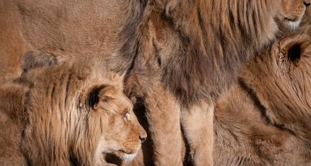 Ambiciosa iniciativa de cinco países para coordinar la conservación del león en África