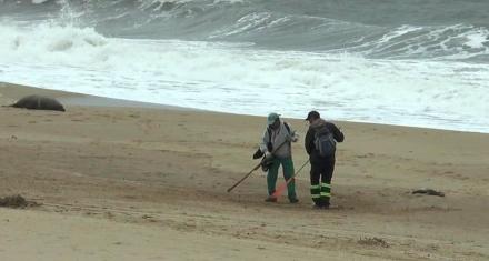 Uruguay: Investigan la muerte de 80 lobos marinos en la costa de Maldonado