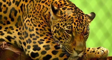 Por primera vez se celebra el Día Internacional del Yaguareté