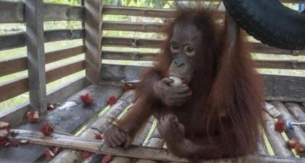 Indonesia: Orangutana liberada tras vivir