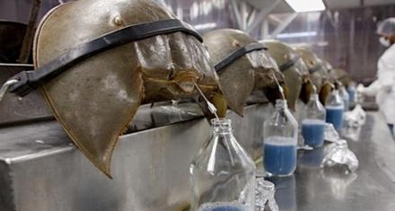 Cangrejo herradura en peligro: Farmacéuticas seguirán explotando su sangre azul