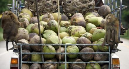 Monos esclavizados por la industria del coco