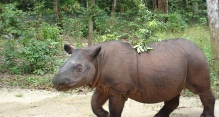Indonesia: Una ley islámica podría salvar al rinoceronte