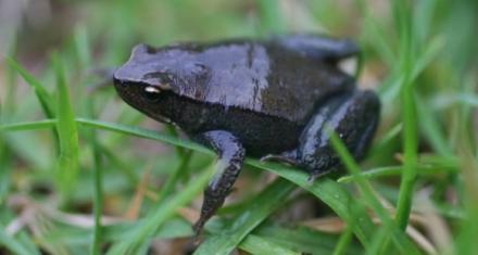 Redescubren especies de anfibios que se creían extinguidos