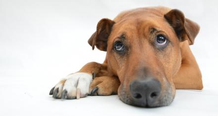 Los perros desarrollaron un músculo para inspirar ternura