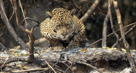 Brasil: El 84% de la reserva más importante del Jaguar se ha quemado