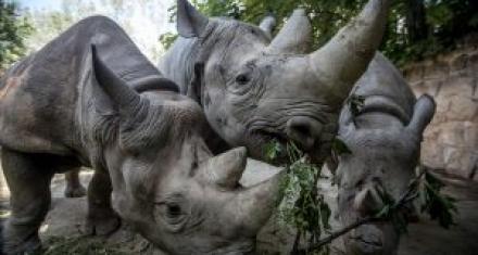 5 rinocerontes negros nacidos en Europa serán trasladados a África