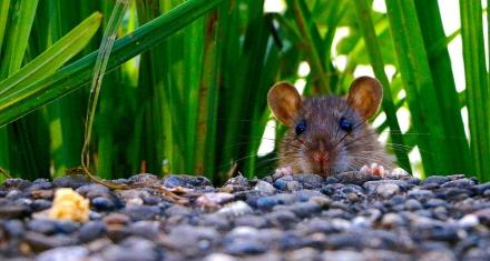 La relación entre la pandemia y el comportamiento agresivo de las ratas