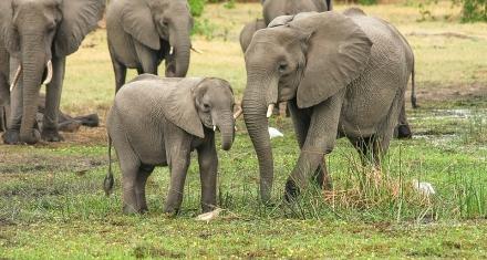 El príncipe de Inglaterra promete aumentar la población de elefantes de Zambia