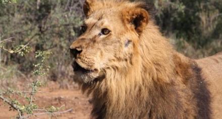 Santiago del Estero: Cerró el zoo tras el traslado de los dos últimos leones