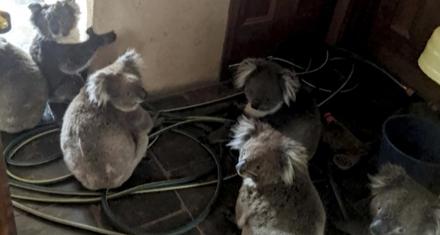 Australia: Un bombero rescató a 6 koalas de un incendio abrazados entre sí