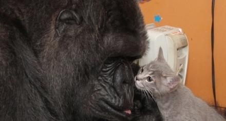 Murió la gorila KoKo