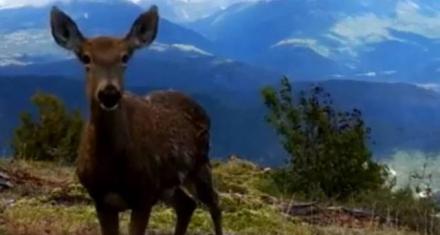 Encuentran ciervos andinos en peligro de extinción en la Patagonia Chilena
