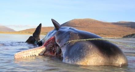 Escocia: Encuentran un cachalote muerto con 100 kilos de basura en su estómago