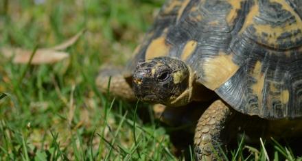 El secreo de la supervivencia de las tortugas moras