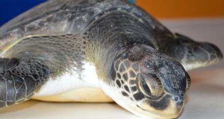 San Clemente: Rescatan a una tortuga marina con gran cantidad de plástico en su estómago