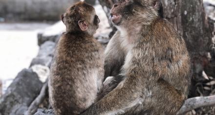 Los macacos son más tolerantes y se relacionan más tras una catástrofe