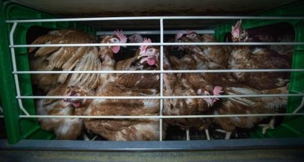 California: Una ley obliga a ampliar las jaulas de los animales de granja