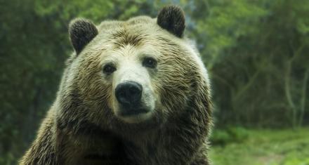 Los osos de Yellowstone seguirán protegidos pese al gobierno de Trump