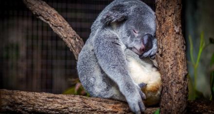 Cuáles son las especies en peligro de extinción más afectadas por los incendios en Australia