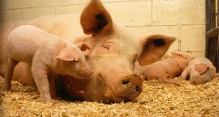 Avanzan los estudios en la edición genética de cerdos para el trasplante de órganos a personas