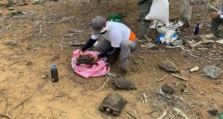 Ecuador: Más de 30 tortugas de San Cristobal regresan a su hábitat en Galápagos