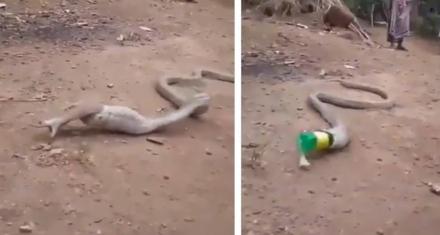 Una cobra vomitó una botella plástica que se tragó por error