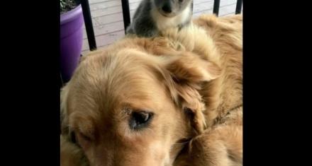 Australia: Una perra salva la vida de un koala a punto de morir