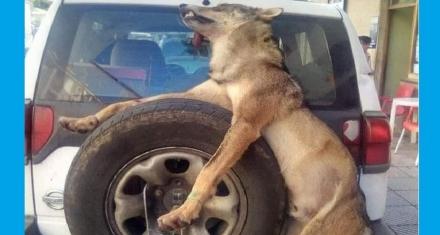 Asturias: Como tratan a los lobos los guardas de medio natural