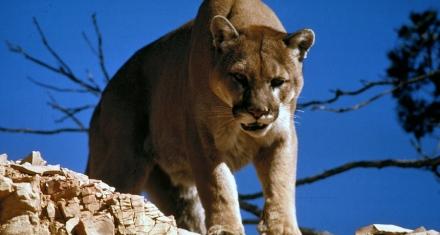 El efecto letal que provoca la presencia humana en ciertos depredadores