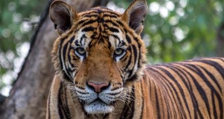 Cambio Climático: El hogar del tigre de bengala desaparecerá en el 2070