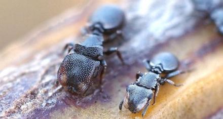 Una especie de hormigas revela que la evolución puede ocurrir a la inversa